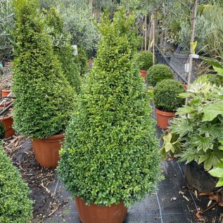 Extra Chunky Buxus Plants by Charellagardens