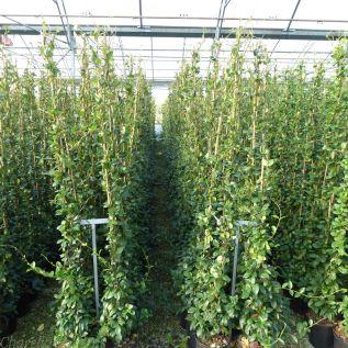 Star Jasmine Trachelospermum Jasminoides - Large plants 7.5 Litre Pot.
