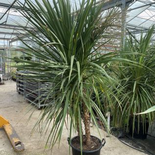 Extra Large Cordyline 70 Litre Pot by Charellagardens.