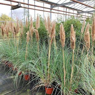 Low Growing Pampas Grass Cortaderia Sellona Pumila