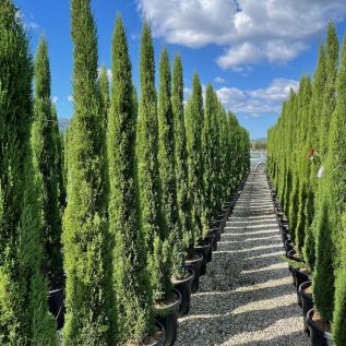 Cupressus Sempervirens Totem Extra Large By Charellagardens 250cm+