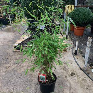 Bamboo Fargesia Nitida Great Wall 5 Litre by Charellagardens.