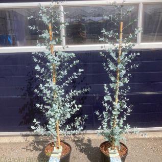 Eucalyptus plants 14 litre by Charellagardens