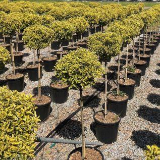 Euonymus Japonica Aureomarginatus 1/2 Standard Plants