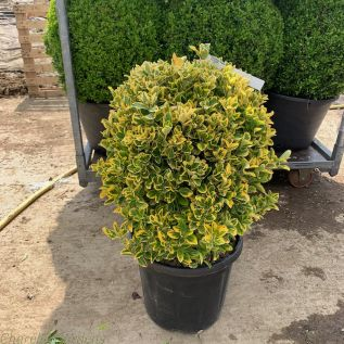 Euonymus Japonicus Aureomarginatus Topiary Ball
