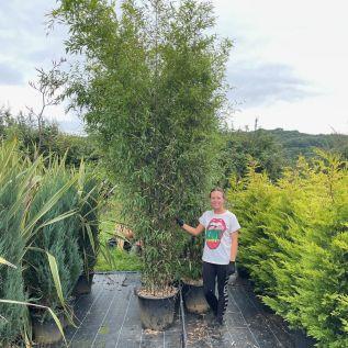 Extra Large Black Bamboo Plants - Phyllostachys Nigra.