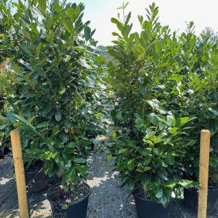 Large Cherry Laurel Hedging Plants, Prunus Rotundifolia 45 litre pot.