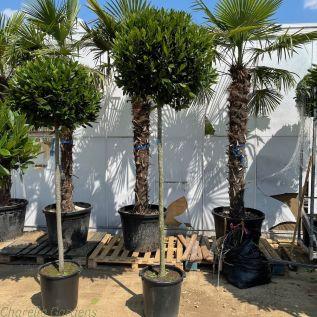 Extra Large Standard Bay Trees 180cm stem - Large Head 85cm+