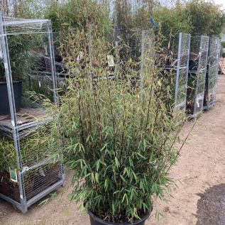 Bamboo Fargesia Jiuzhaigou Number 1, large plants in 35 litre pots.