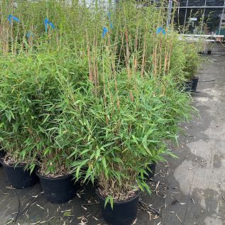 Bamboo Fargesia Jumbo 100/120cm