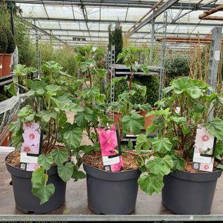 Flowering Lavatera 5 Litre - Upto 4 Varieties