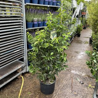 Prunus Lusitanica Angustfolia Hedging plants