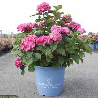 Hydrangea Endless Summer The Original Pink 15 Litre