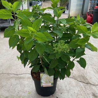Hydrangea Paniculta Limelight - Large plants 7.5L pots.
