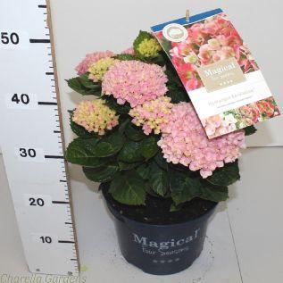 Hydrangea Magical Revolution Pink - In Flower