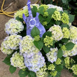 Hydrangea Blue Balled Extra Large by Charellagardens