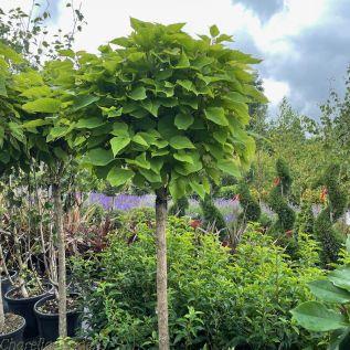 Catalpa Bignonioides Nana - Indian Bean Tree 1/2 Standard 150cm Stem