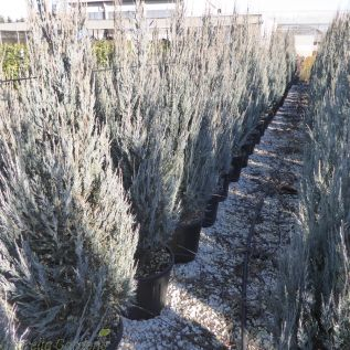 Juniperus Scopulorum Sky Rocket by Charellagardens