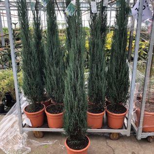 Juniperus Scopulorum Blue Arrow 12 Litre 150-175cm