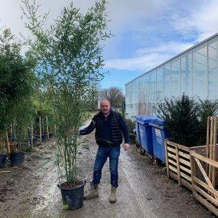 Bamboo Phyllostachys Aurea 35 Litre.