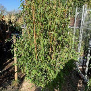 Bamboo Fargesia Simba Extra Large 50 Litre.