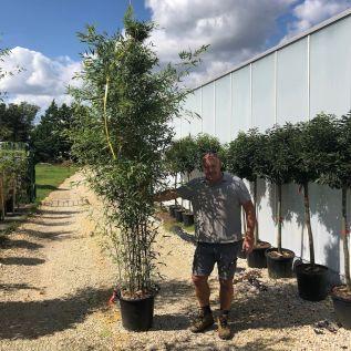 Large Black Bamboo Plants - Phyllostachys Nigra.