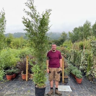 Large Black Bamboo Plants By Charellagardens upto 250cm 30 Litre pot.