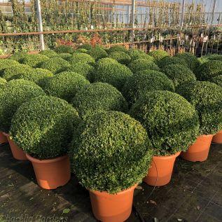 Large Buxus Ball Plants. 60cm Diameter.