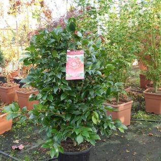 Extra Large Red Flowering Camellia Plants Black Lace  80-100cm. 10 Litre