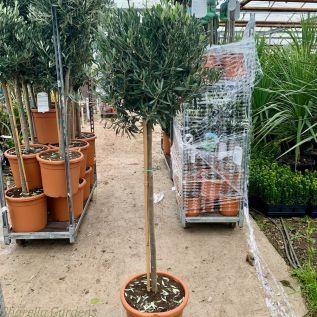 Large Head Olive Tree 140/50cm tall.