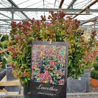 Leucothoe Curly Red Large - 10 Litre