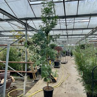 Mimosa Acacia Armata Large Plants 200/250cm. 20 Litre