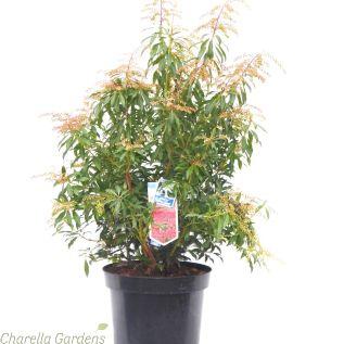 Large Pieris Japonica Forest Flame 18 Litre