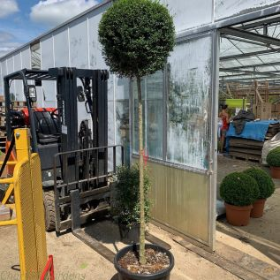 Large 3/4 Standard Ligustrum Plants 110cm Stem. 40 Litre