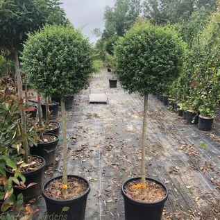 Large Standard Ligustrum plants 90cm stem, 50cm head.by Charellagardens.