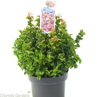 Leucothoe Curly red 5 Litre by Charellagardens