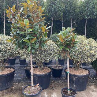 Magnolia Grandiflora 1/2 Standard Magnolia Gallisoniensis