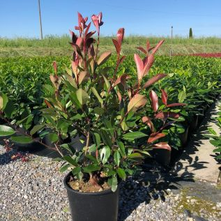 Photinia Red Robin bushy plants 70/80cm excluding pot.