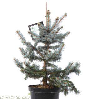 Picea Pungens Hoopsii Established Plants 80cm excluding pot.