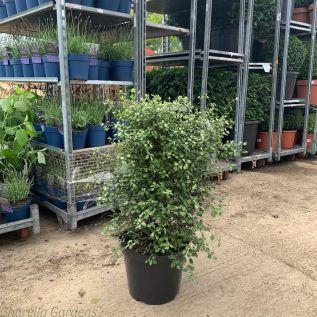 Pittosporum Cratus 5 Litre 40-60cm
