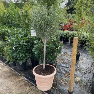 Large Ready Potted Olive Tree Belair Planter 40cm