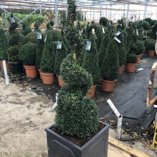 Potted Buxus Topiary Spirals by Charellagardens