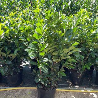 Prunus Laurocerasus Etna 80/100cm 12 Litre - Pot Grown