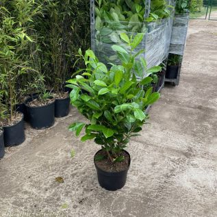 Cherry Laurel Hedging Plants by Charellagardens 80/100cm - 10 Litre pot