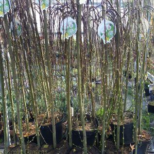 Salix Caprea Kilmarnock Pussy Willow Tree 150cm