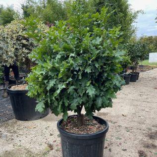 Large Quercus Palustris 'Isabel' 80/100cm. 75 Litre Pot