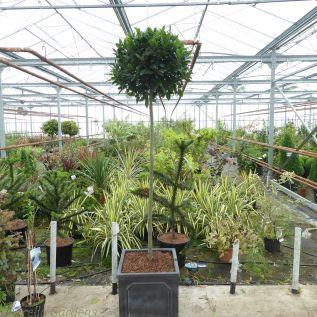 Full  Standard Bay Tree in Chelsea Planter - Large 50/55cm head.