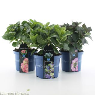 Hydrangea Royalty Collection 5 Litre in upto 5 varieties.