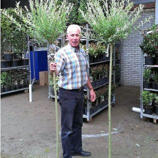 Large Standard Salix Tree. Salix Hakuro Nishiki 120cm Stem