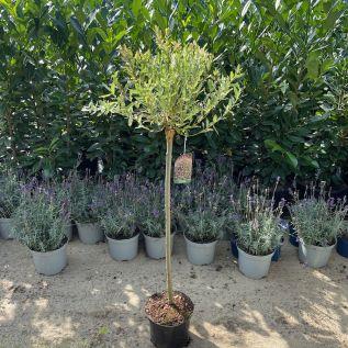 Standard Salix Hakuro Nishiki Willow Trees 3 Litre - July 2016